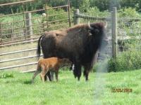 Bouverie Bison Farm 2019